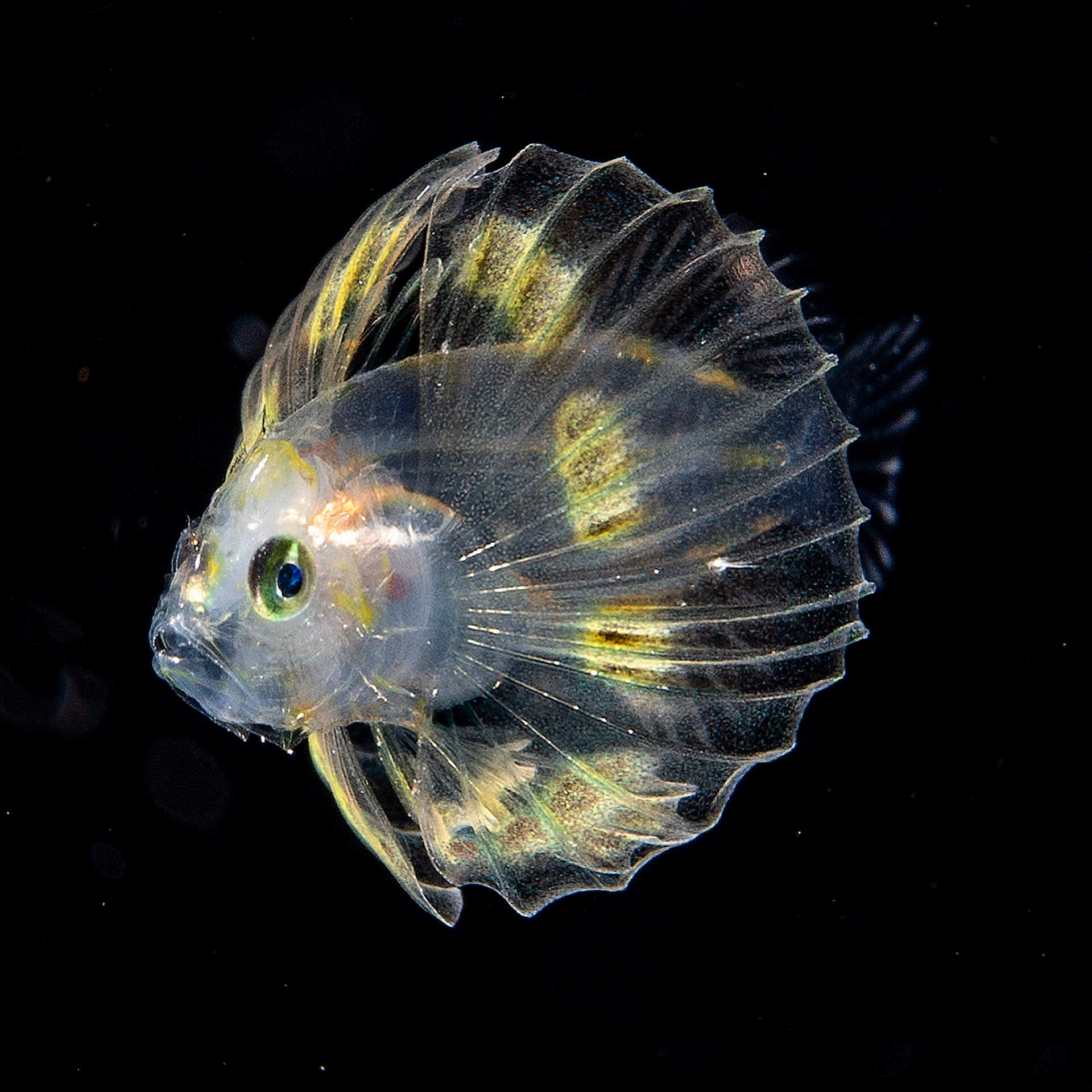 An Argonaut, also known as a paper nautilus
