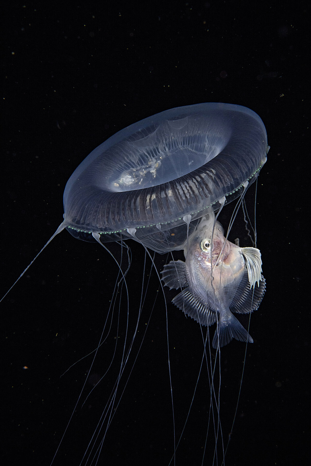 A jellyfish hovers over a driftfish