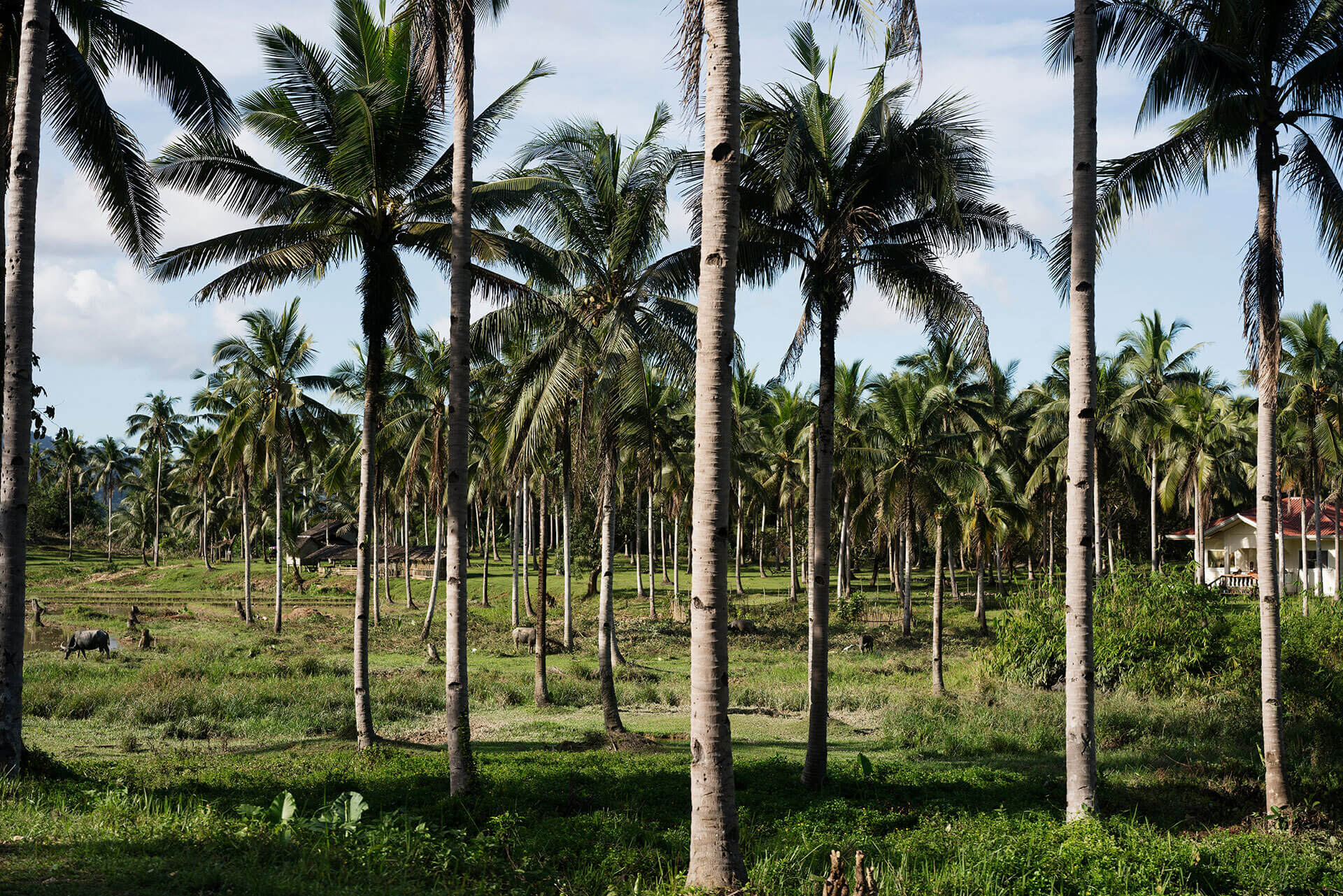 Coconut trees, photo by Sonny Thakur