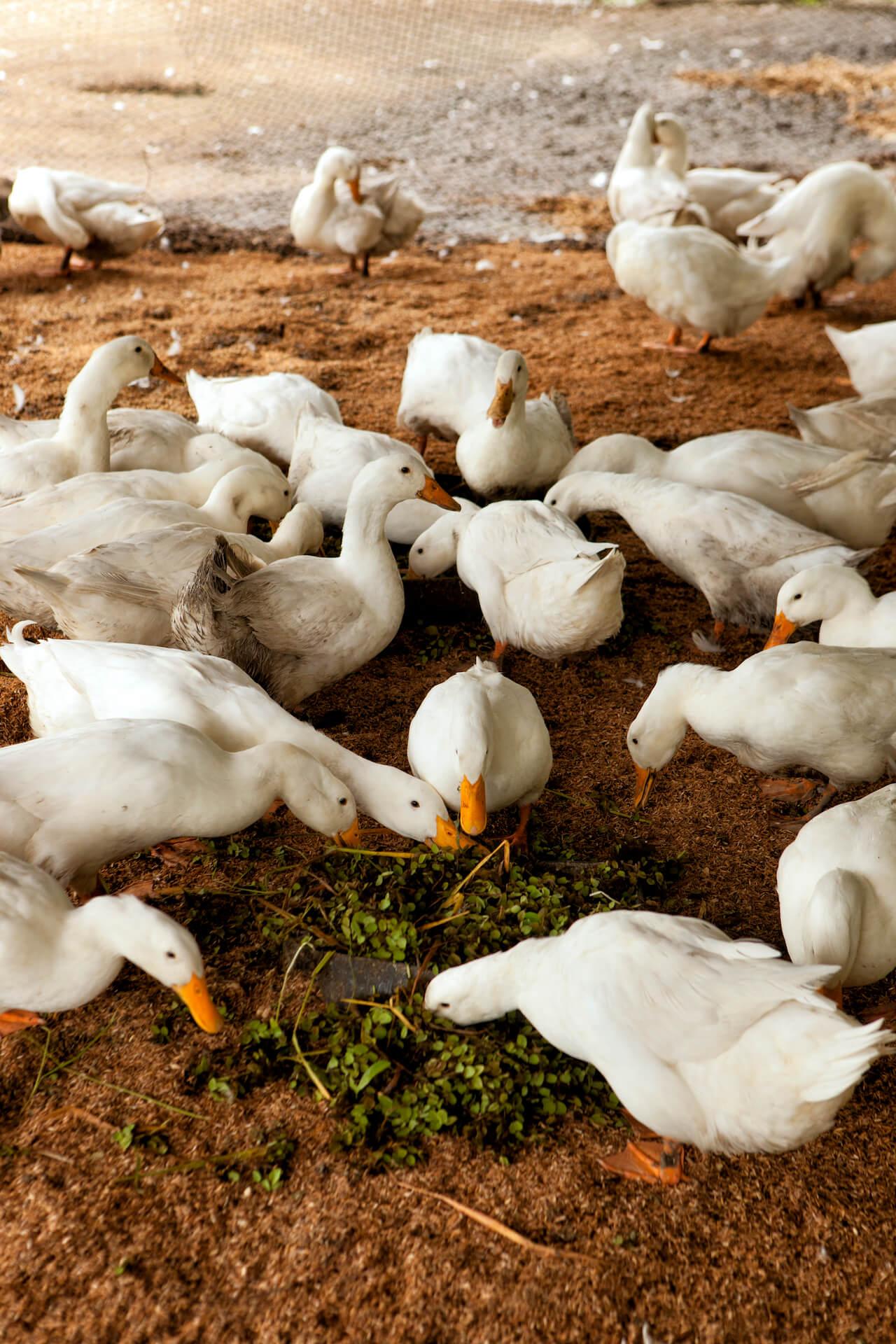 A raft of ducks feeding