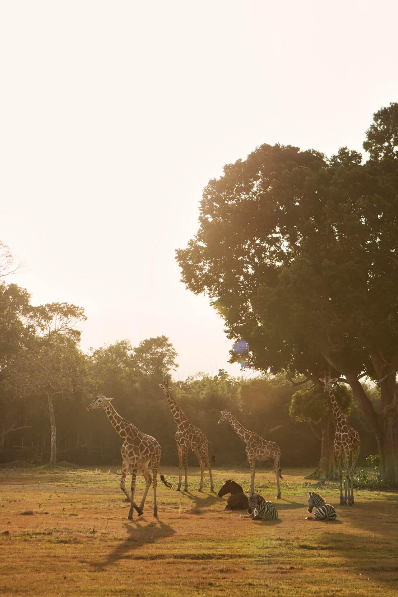 Giraffes, Zebras and a horse in Calauit Safari Park