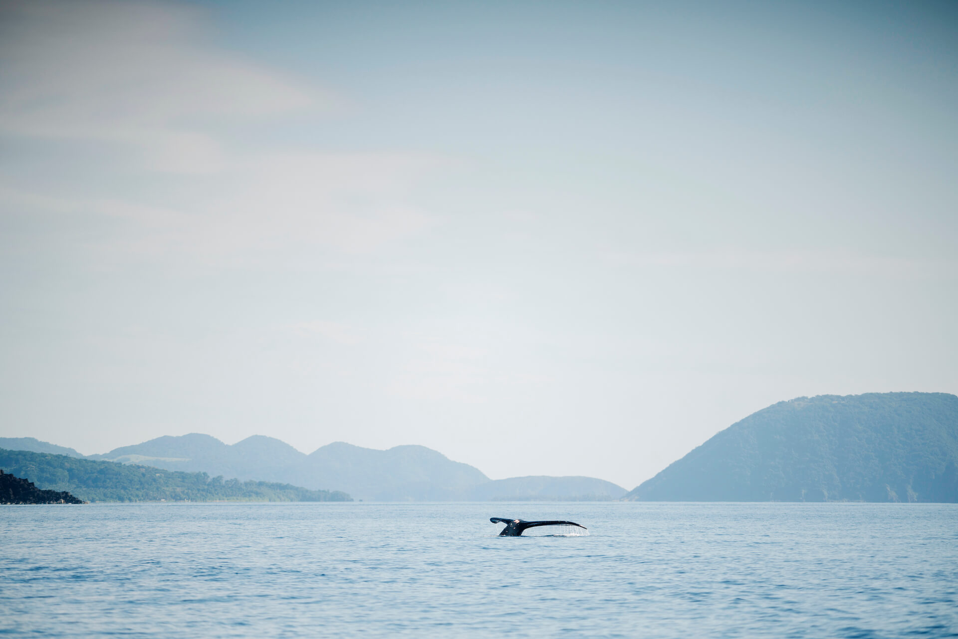 A humpback whale shows its fluke over the water