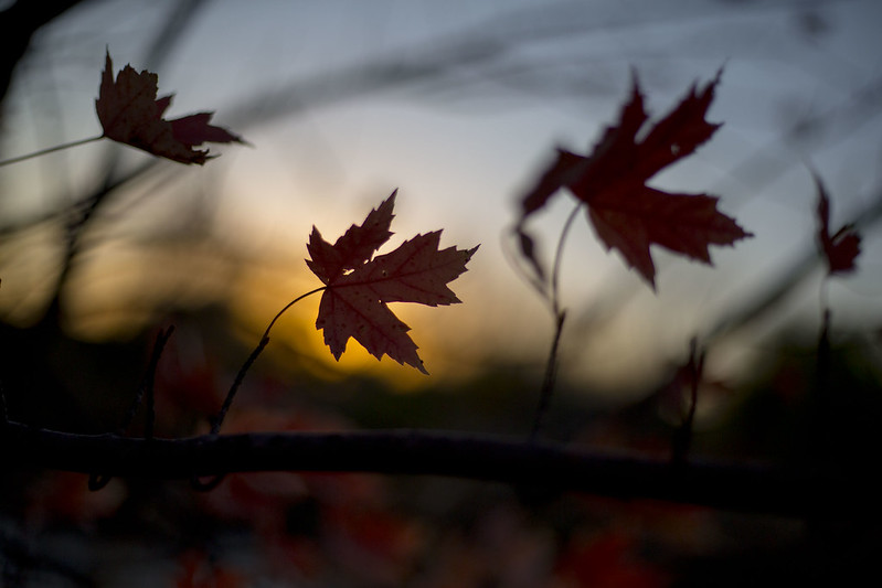 Autumn Leaves at Sunset