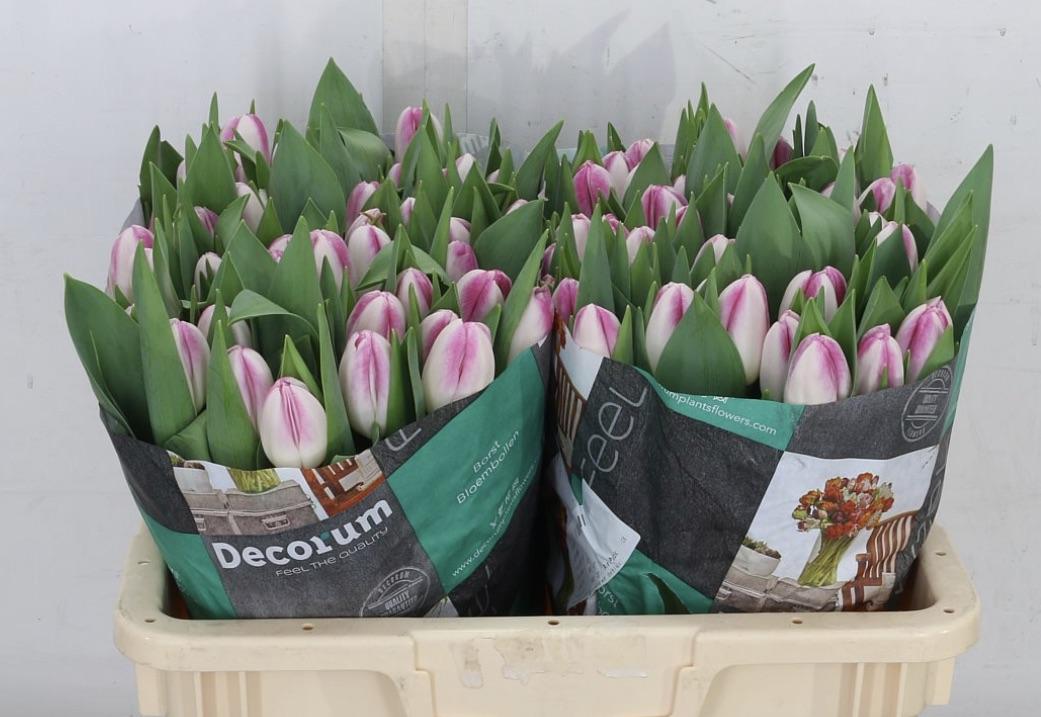 2 Tone tulips