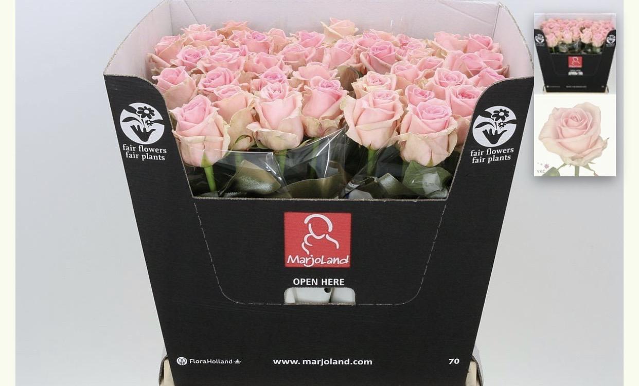 Dolomiti Pink Roses