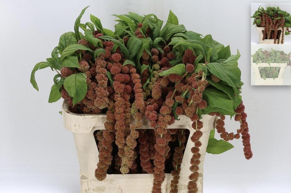 Coral Amaranthus