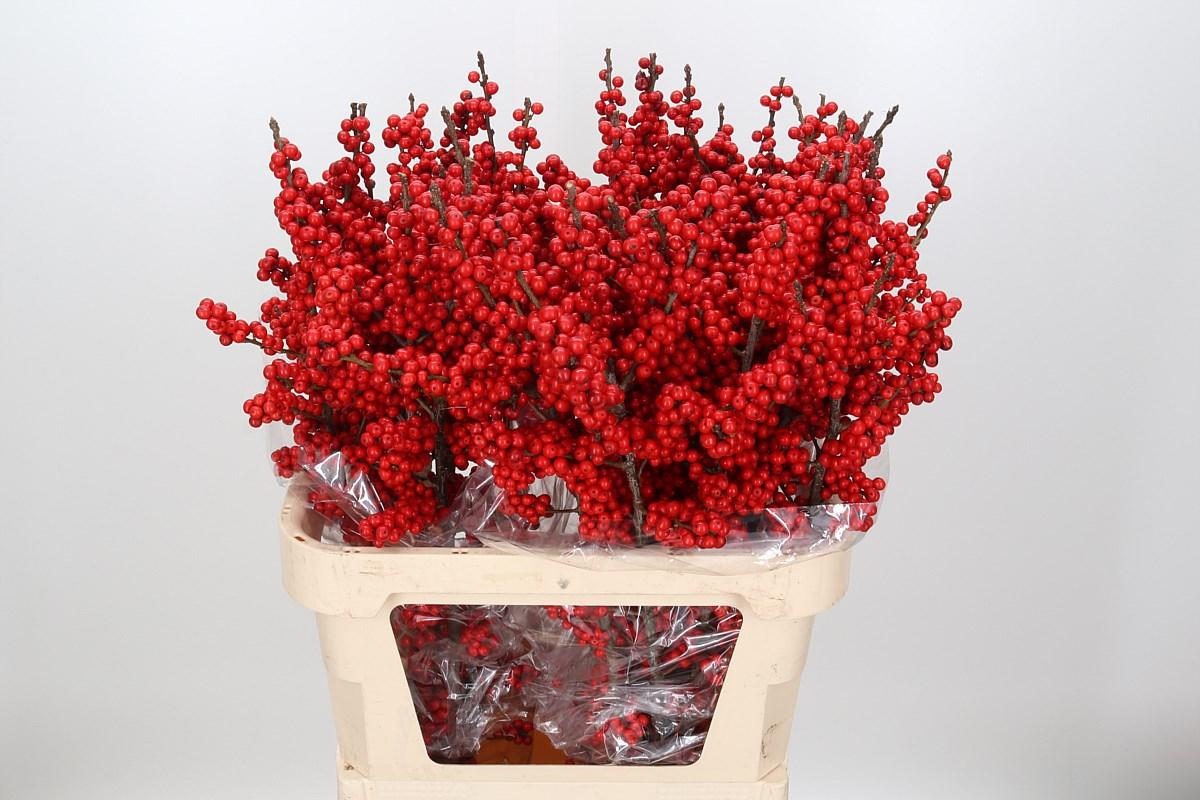 Red Ilex
