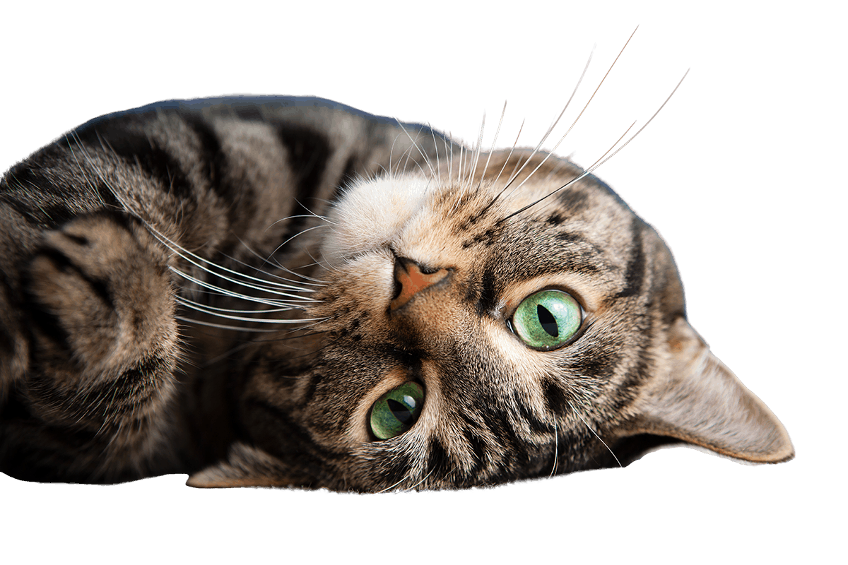 Cute tabby cat rolling over