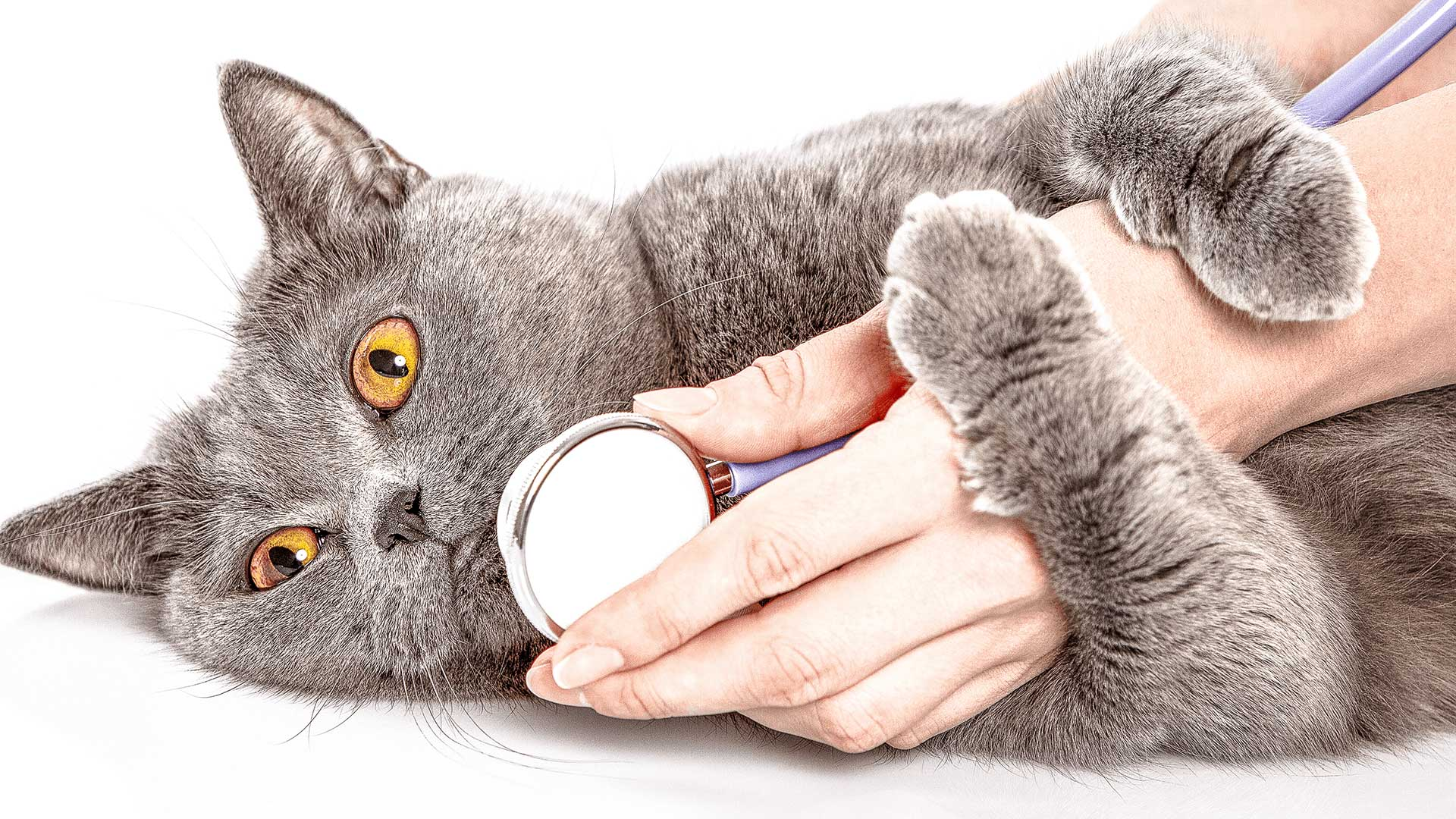 A gray cat getting examined by a doctor with a stethoscope