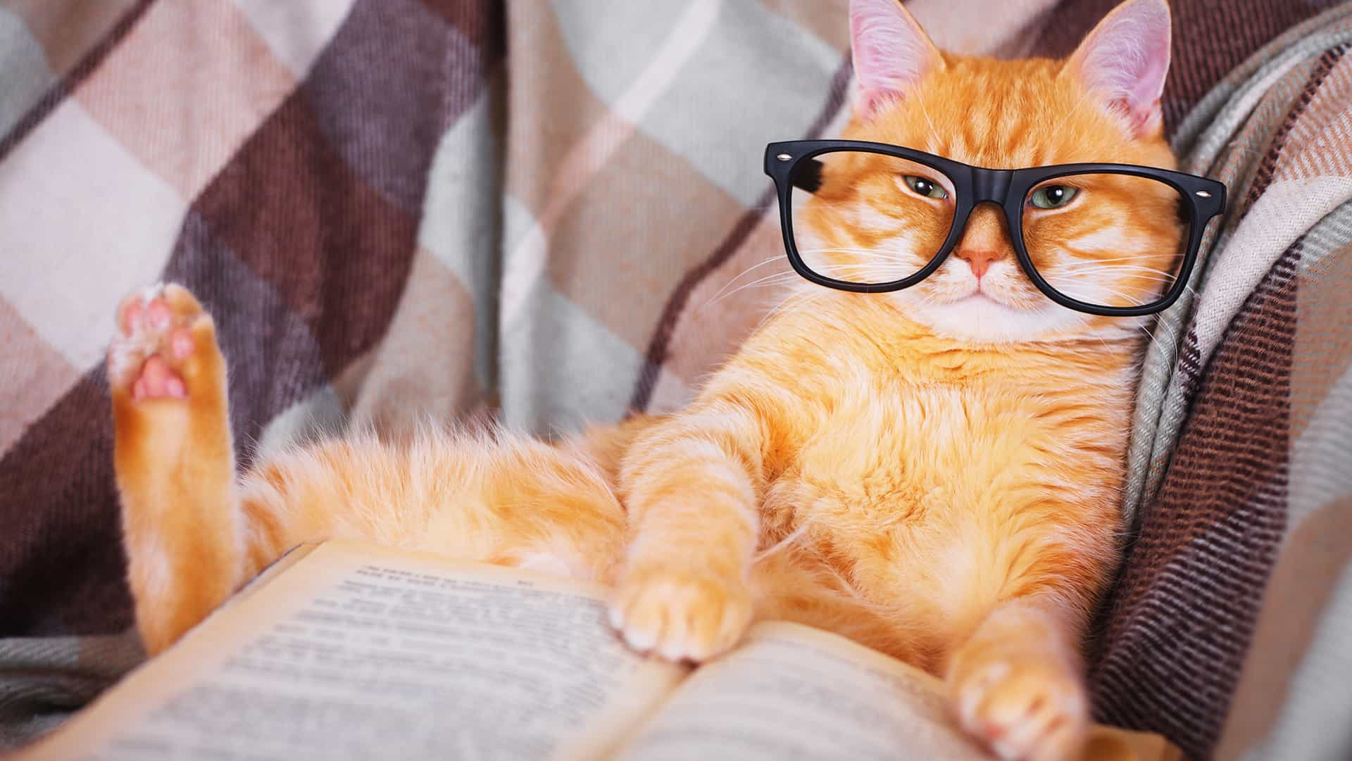 A studious orange tabby with glasses on reading a book