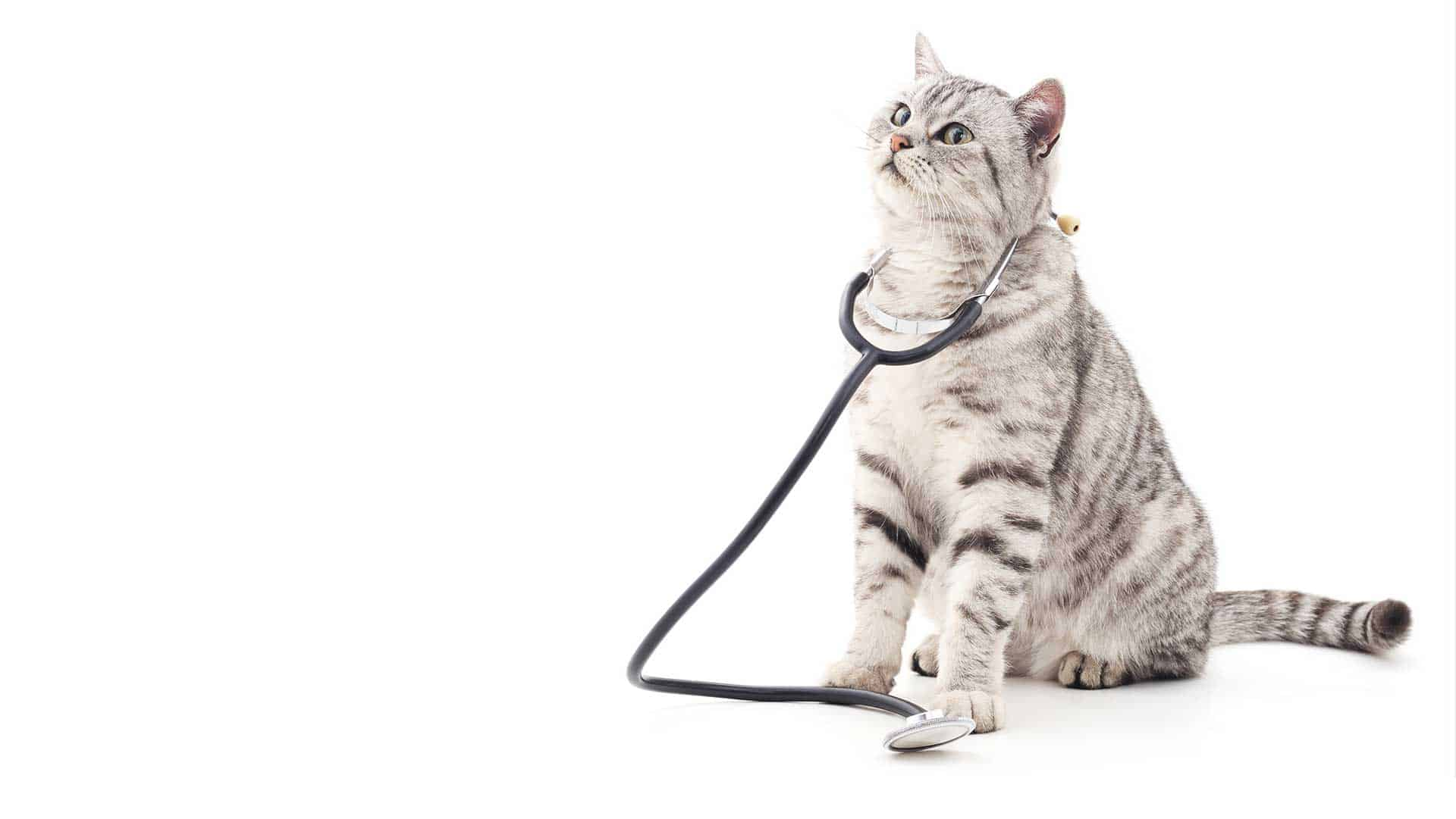 A white tabby cat wearing a veterinary stethoscope around her neck.