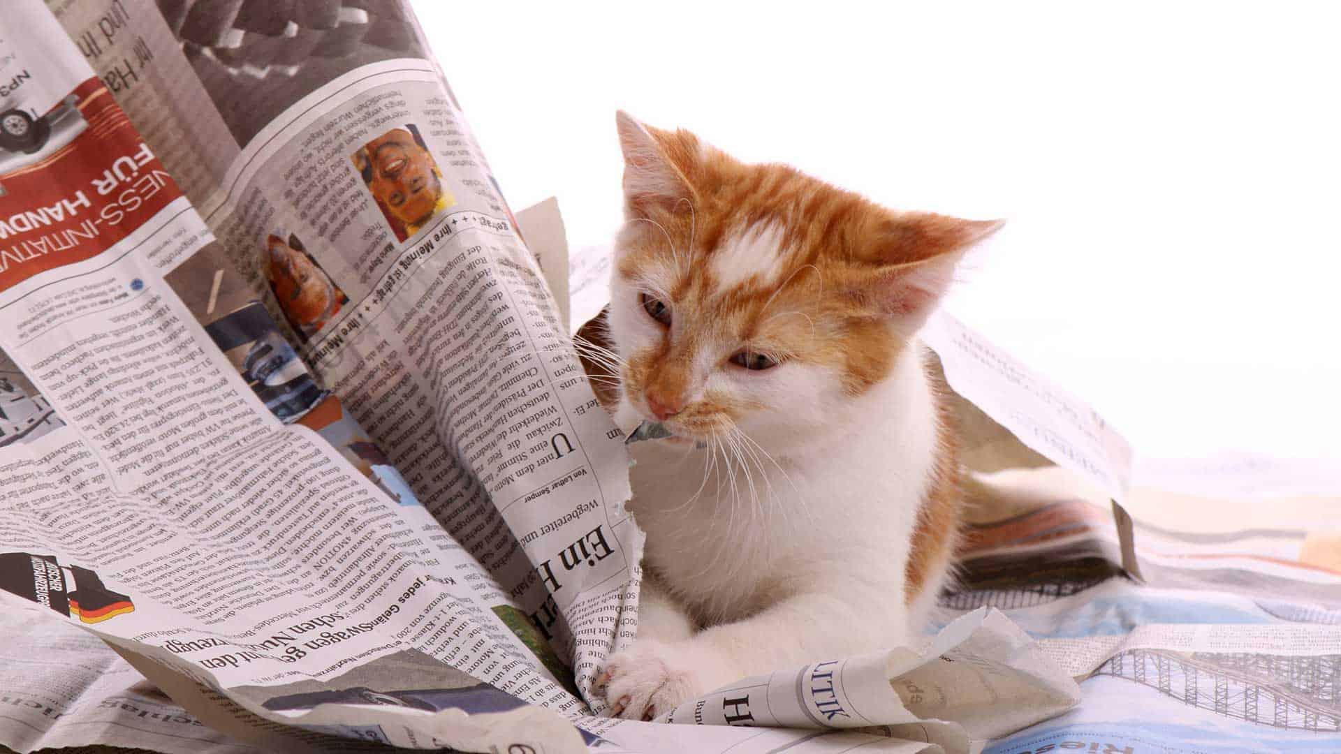 An orange and white tabby kitten reading the newspaper.