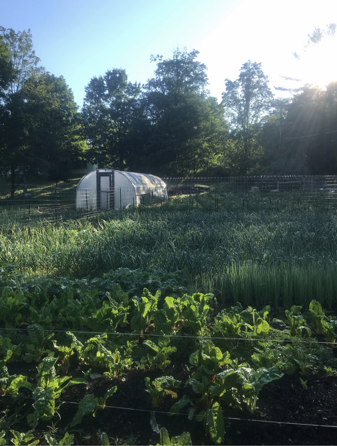 Picture of a New York farm with fresh, local lettuce