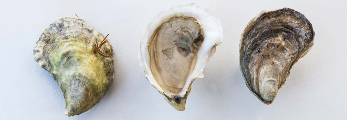 Why Everyone Should EatOysters