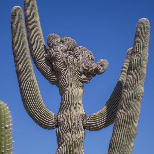 Crested Saguaro at Desert Foothills Gardens Nursery