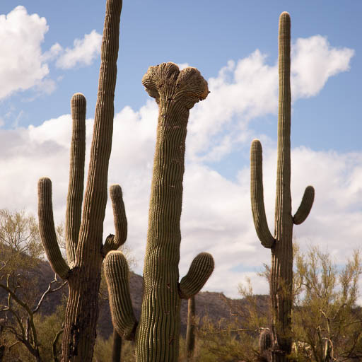 Crested Saguaro in Organ Pipe National Monument