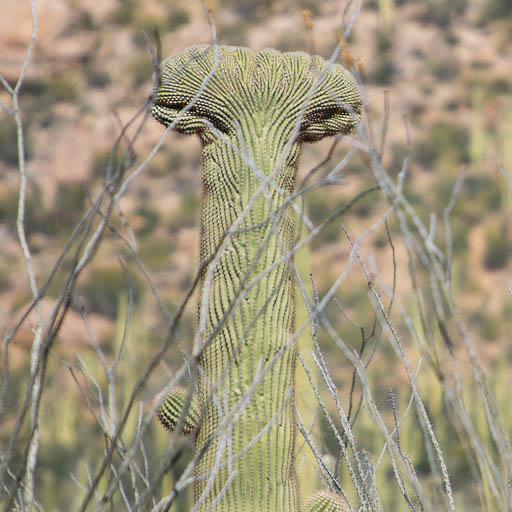 Crested Saguaro Hiding in the Ocotillos