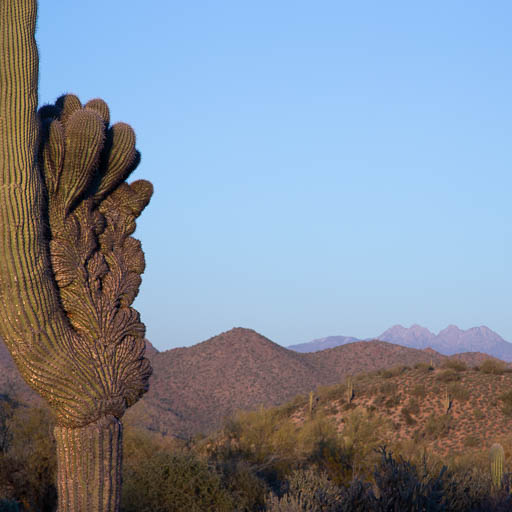 Crested Saguaro With Four Peaks