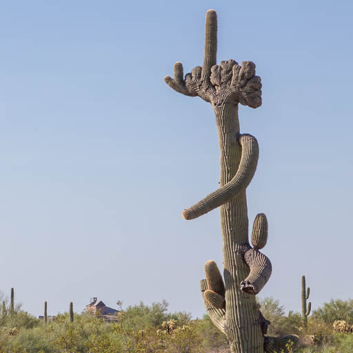 Crested Saguaro near Vulture Mine
