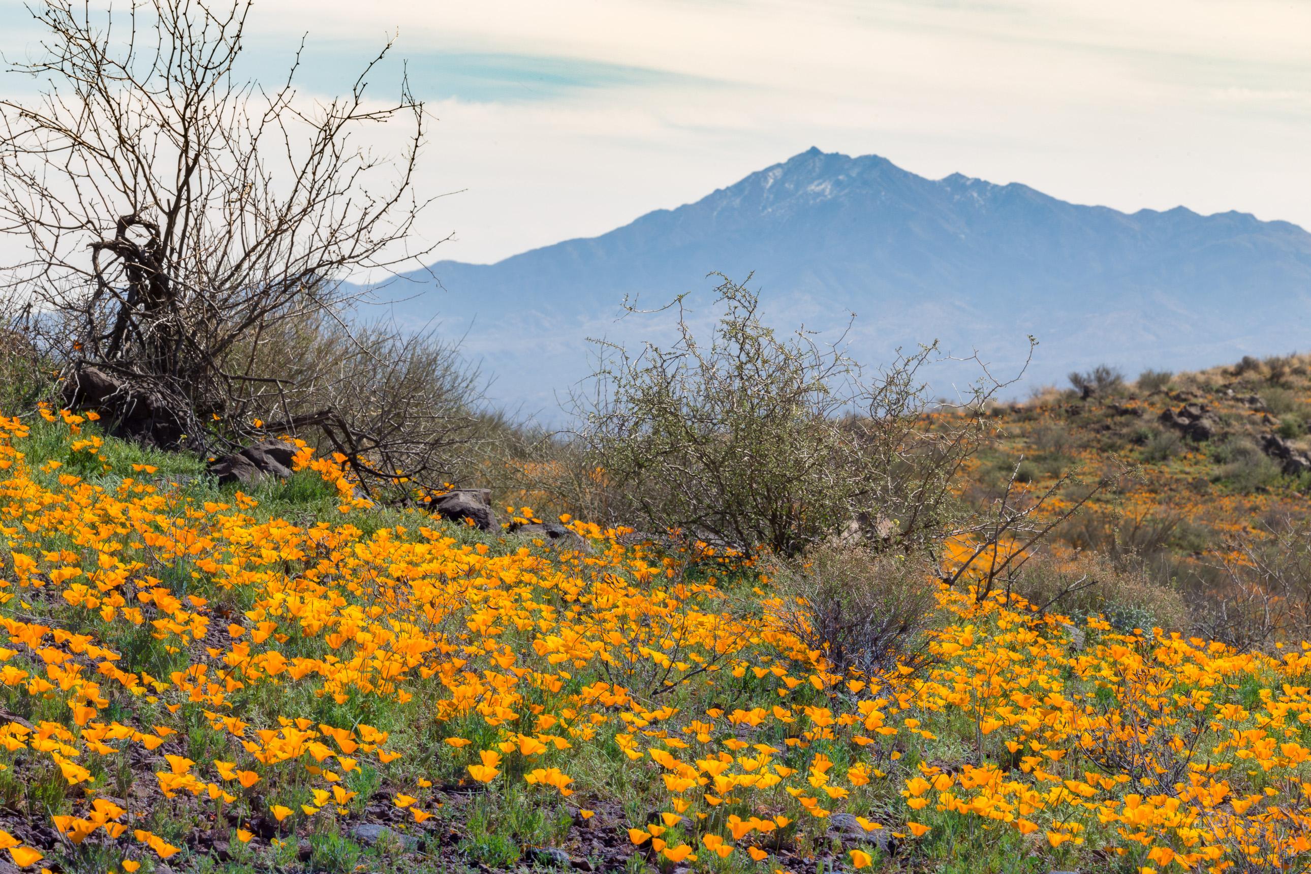 Photo of Peridot Mesa Wildflowers