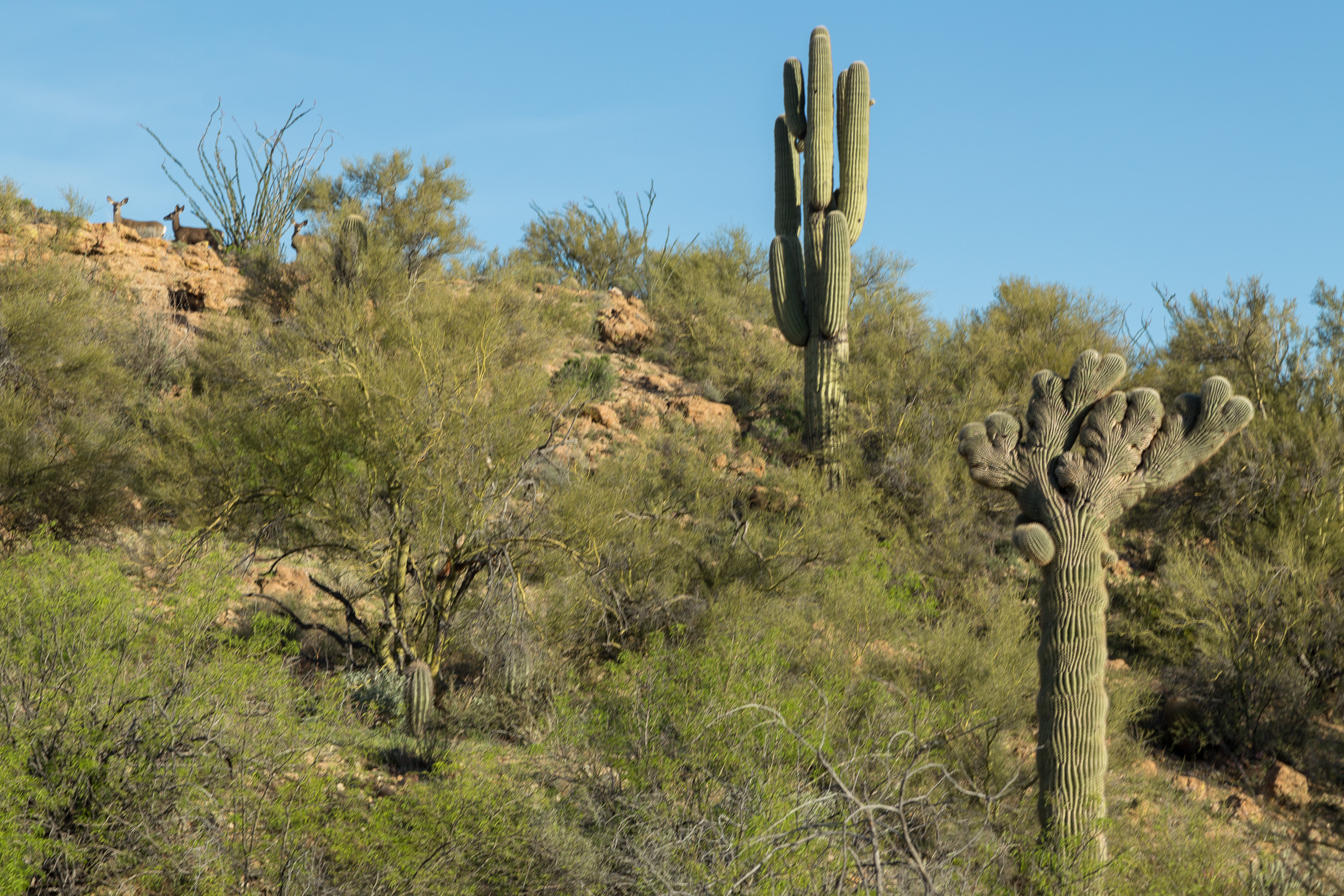 Mahalo the crested saguaro with some deer