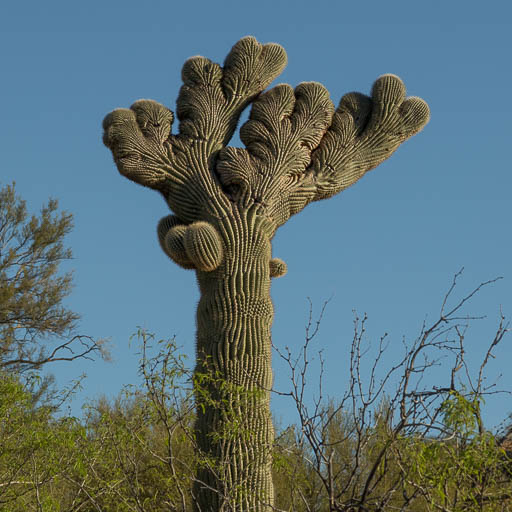 Mahalo the Crested Saguaro