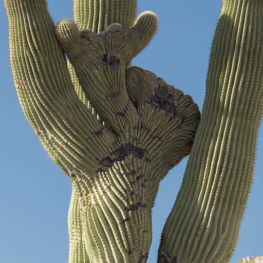 Crested Saguaro in the Tinajas Altas Pass