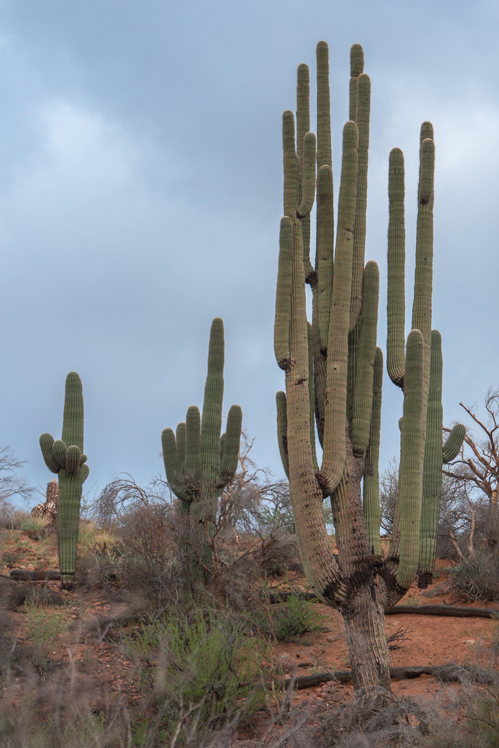 The Grand One saguaro cactus