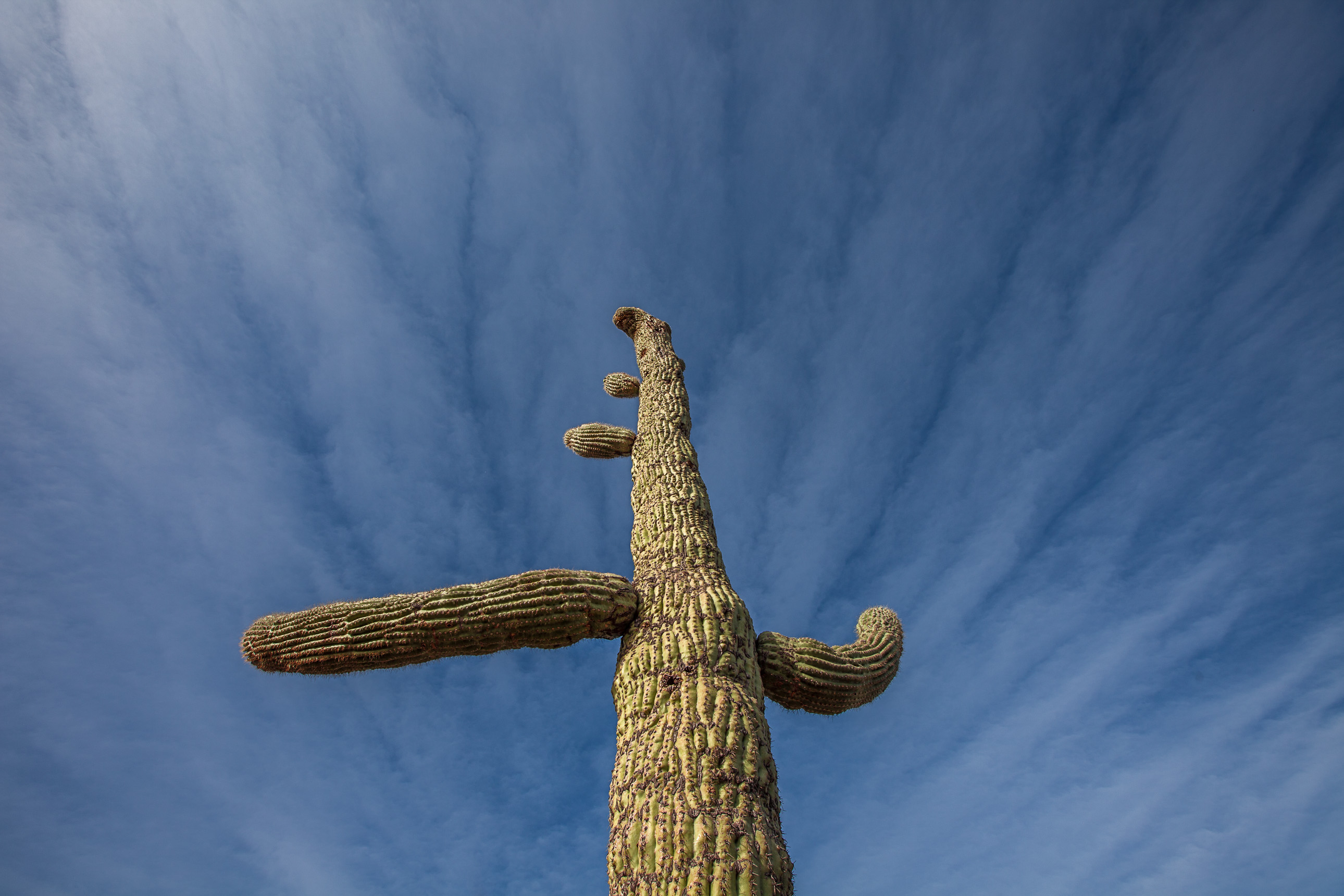 Flying crested saguaro cactus