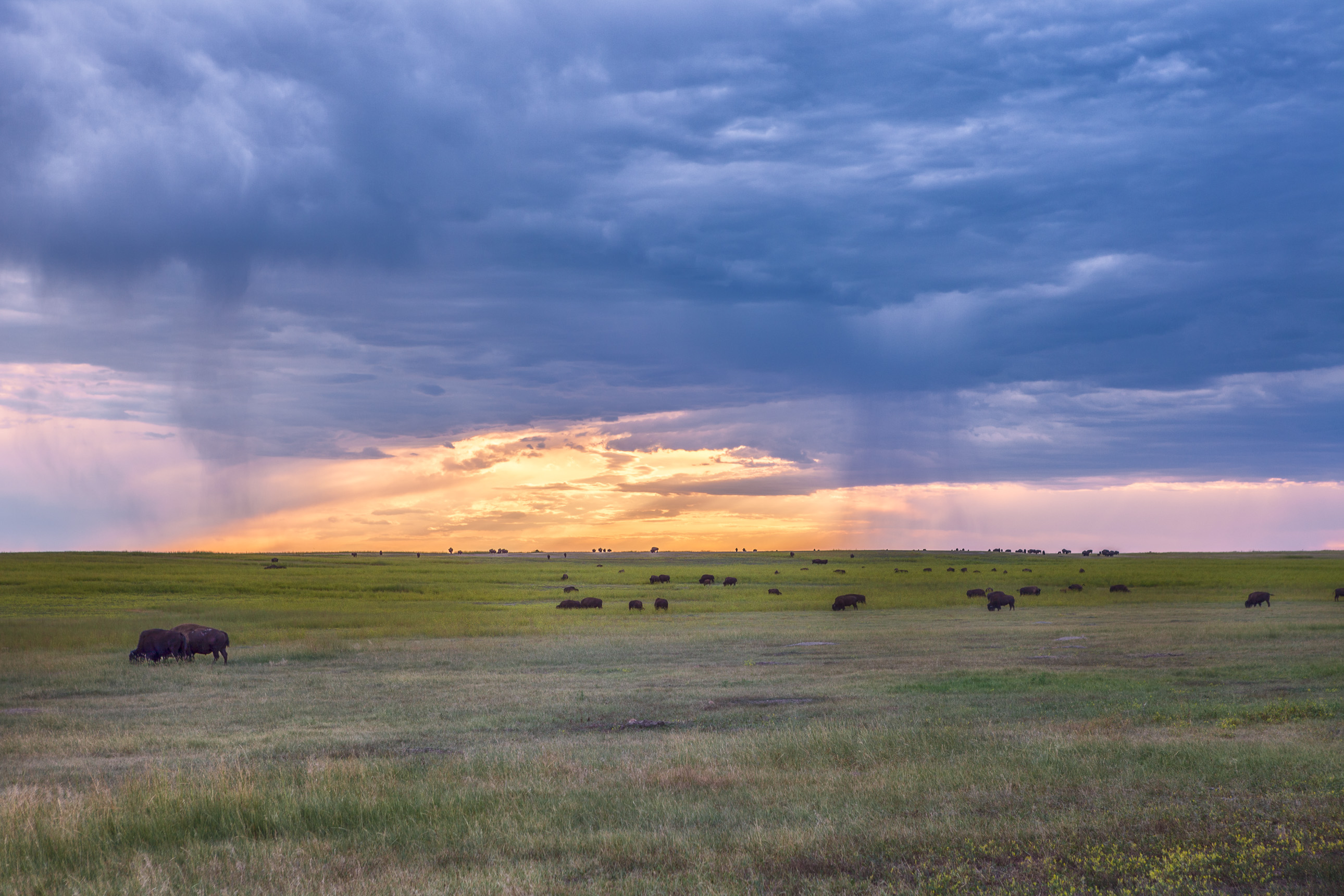 Bison herd at sunset in Badlands National Park
