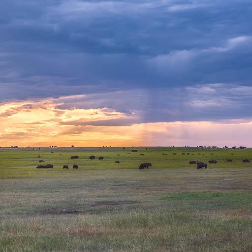 Bison herd at sunset in Badlands National Park