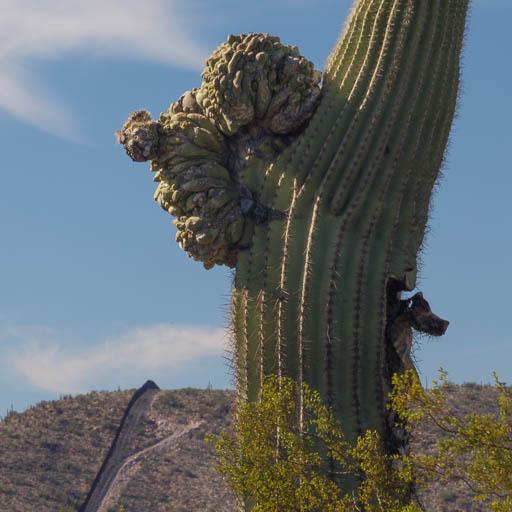 Crested Saguaro near Lukeville, Arizona