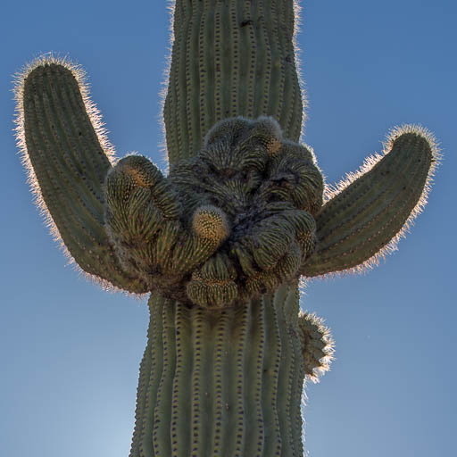 Crested saguaro cactus on Puerto Blanco Road