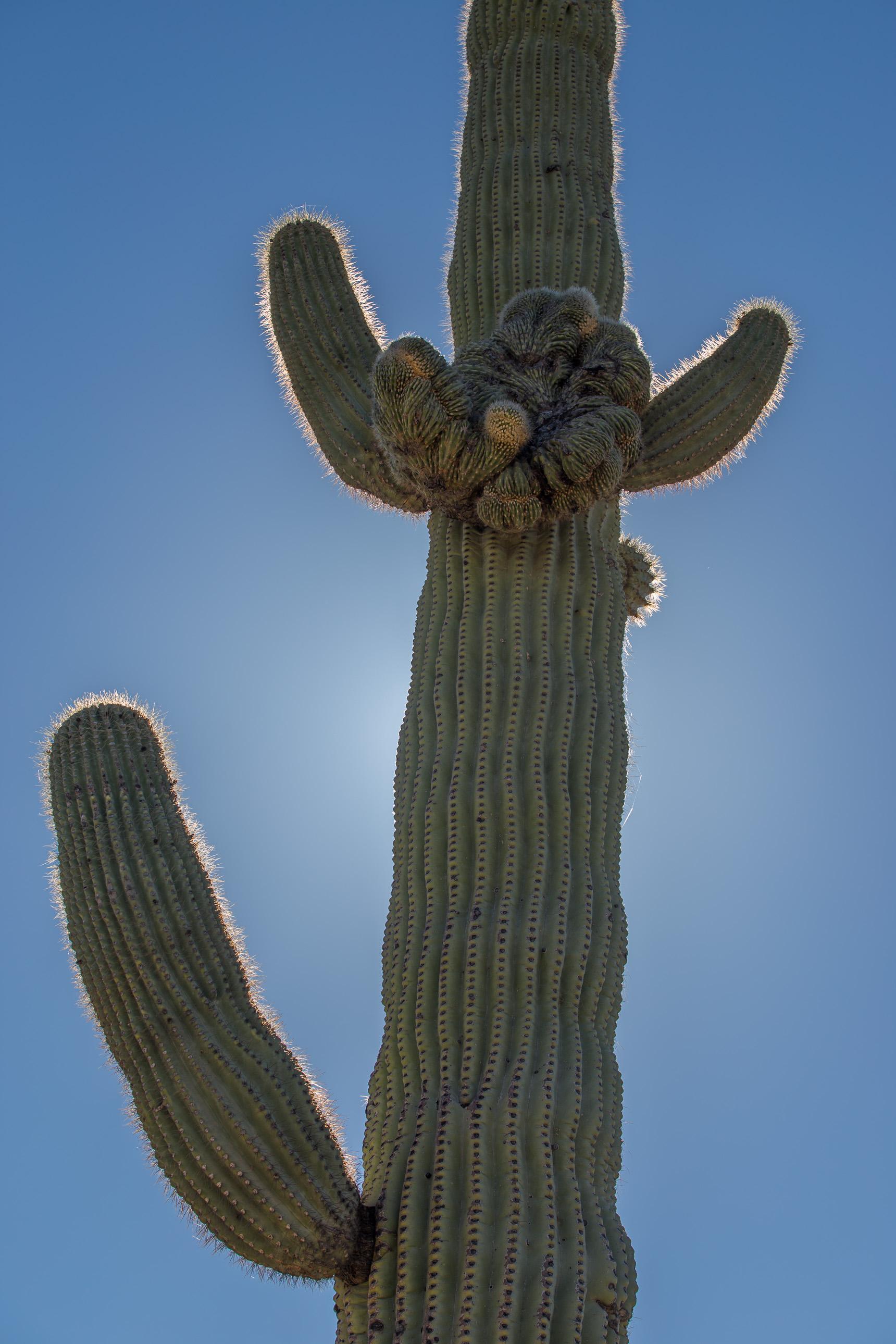 Crested saguaro cactus on Puerto Blanco Road