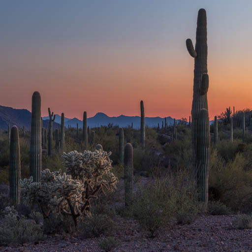 Sunset amongst the saguaros
