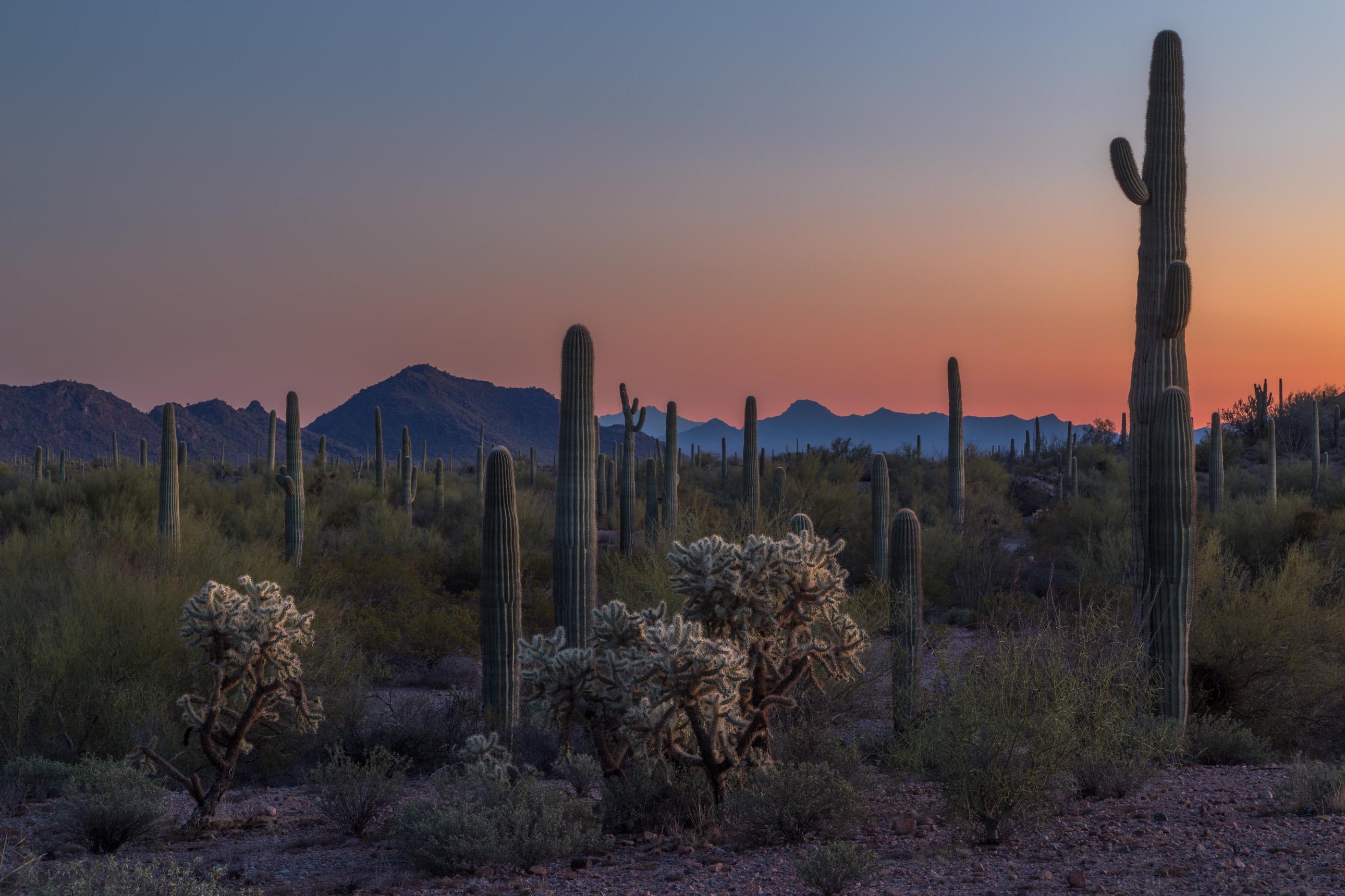 Sunset amongst the saguaros