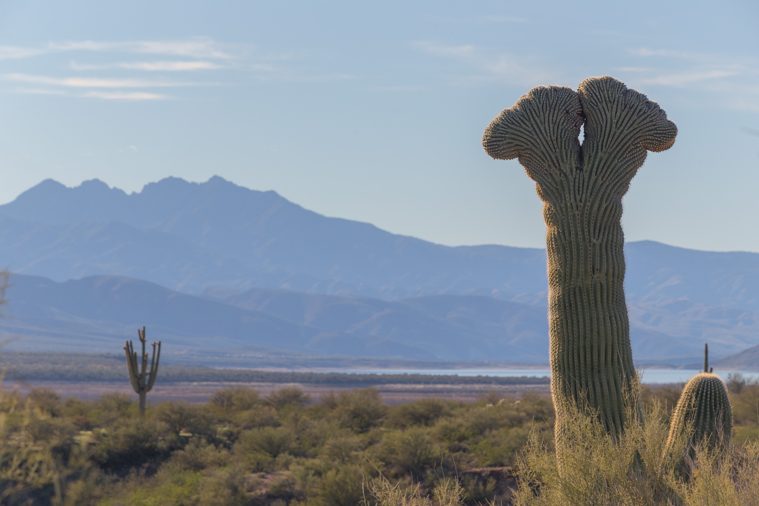 Double Crested Saguaro with Four Peaks