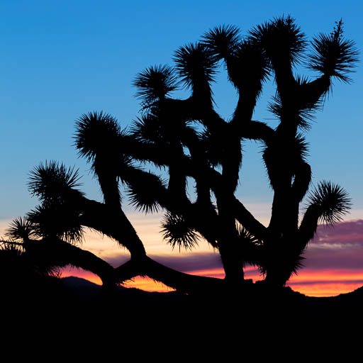 Joshua Tree Silhouette at sunset