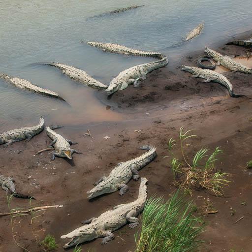 Crocodiles in the Rio Grande Tarcoles, Costa Rica