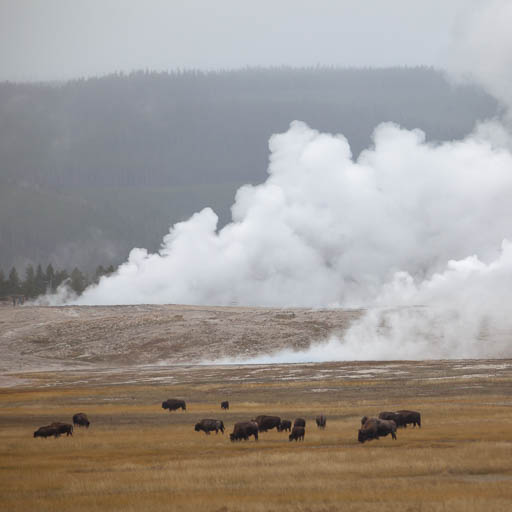 Yellowstone Bison Grazing in the Fall
