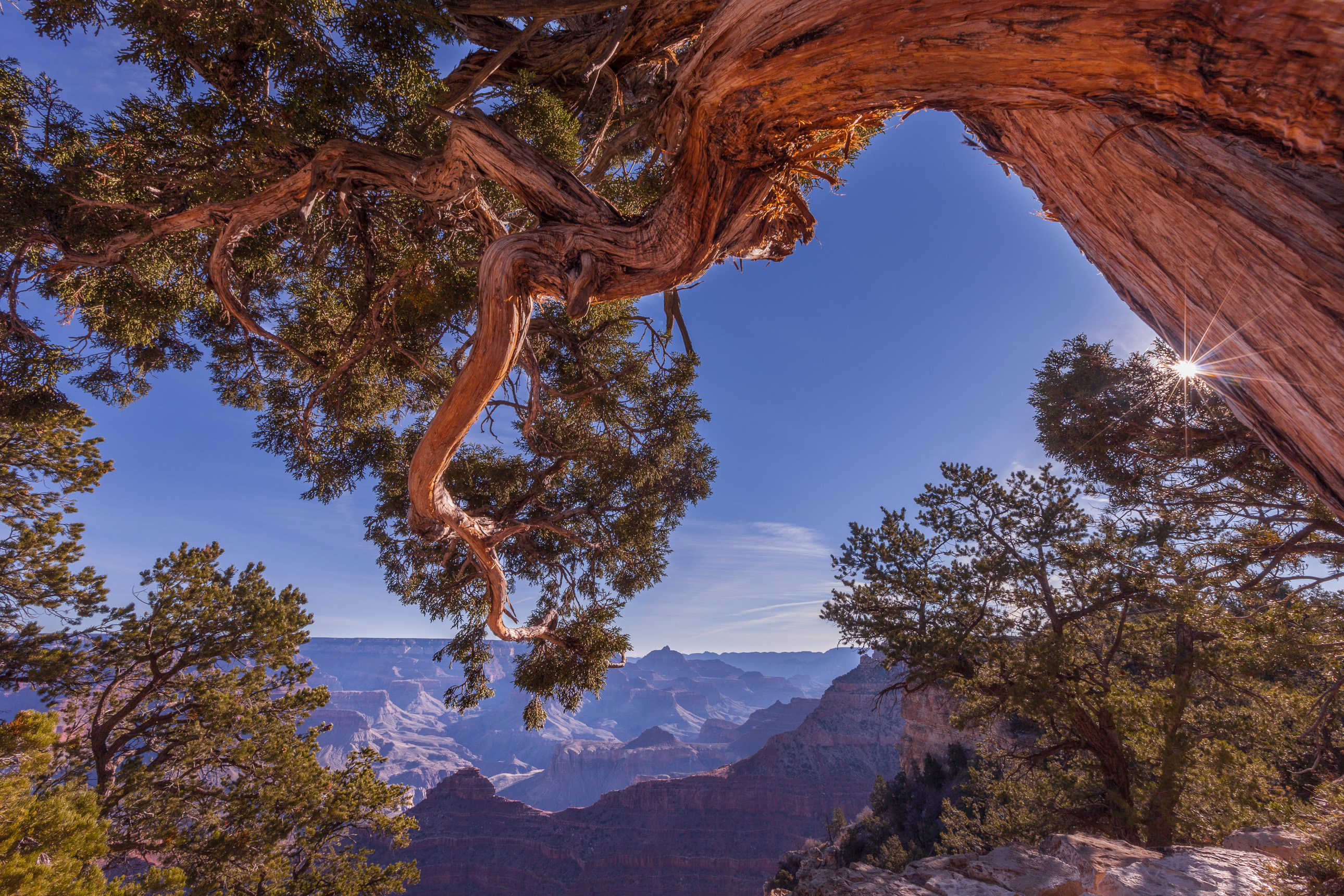 Juniper arching over the Grand Canyon