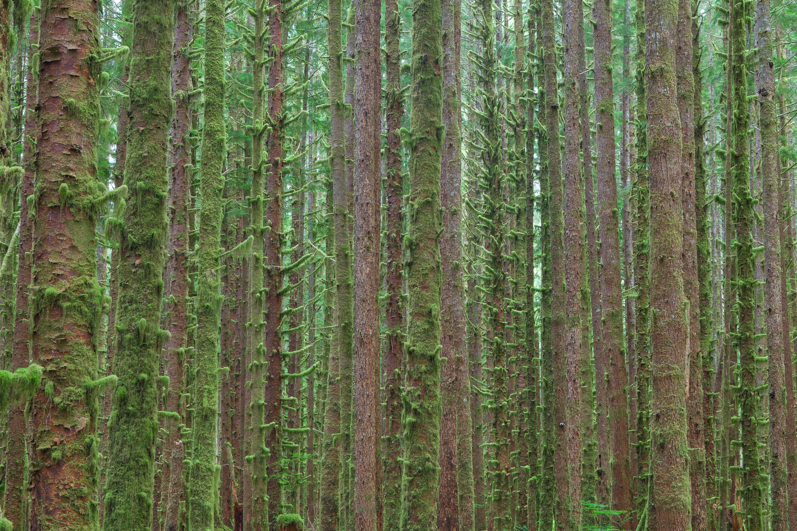 Hoh rainforest trees