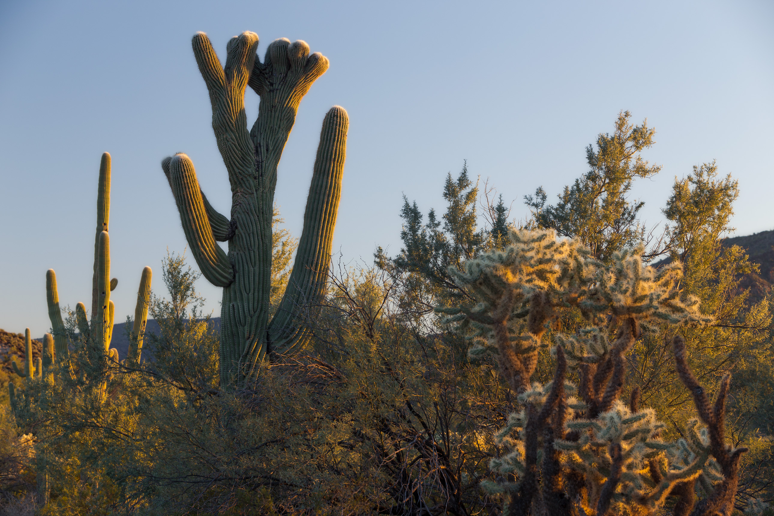 Crested Saguaro on Bates Well Road