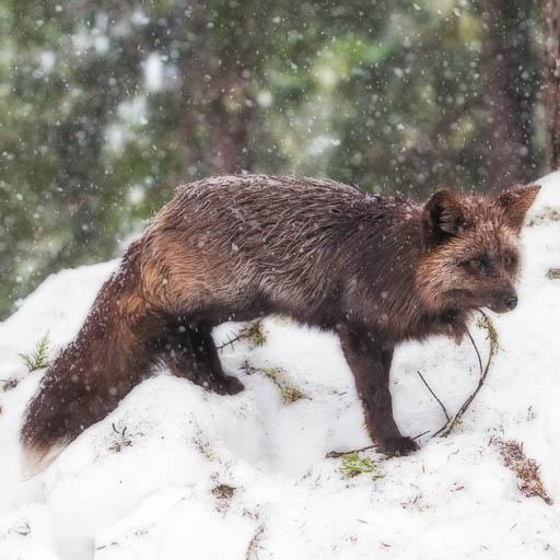 Cascade Fox in the Snow