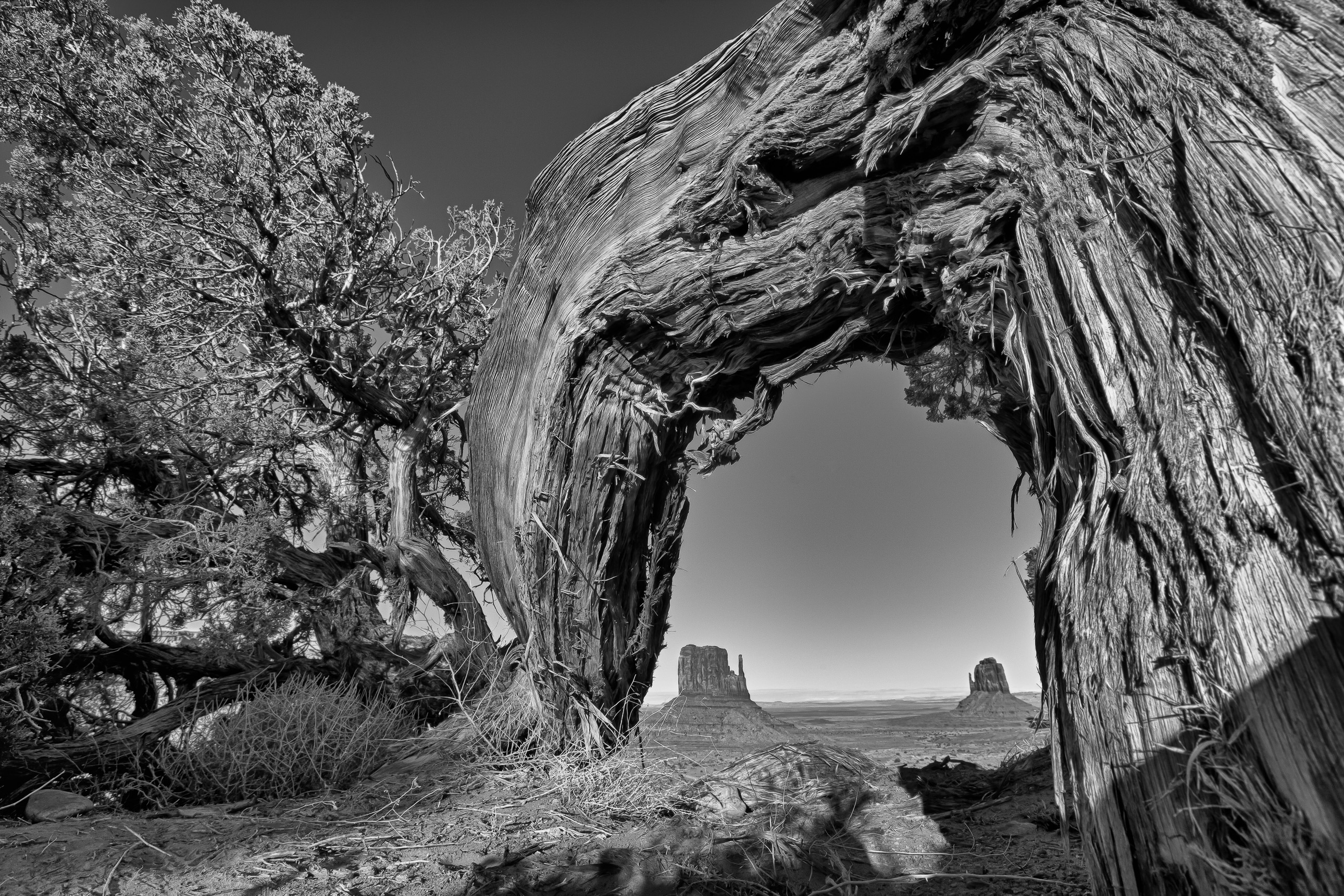 Monument Valley under an arching juniper