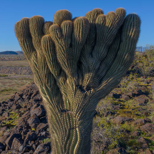 Photo of a crested saguaro on top of Adobe Mountain in north Phoenix, Arizona