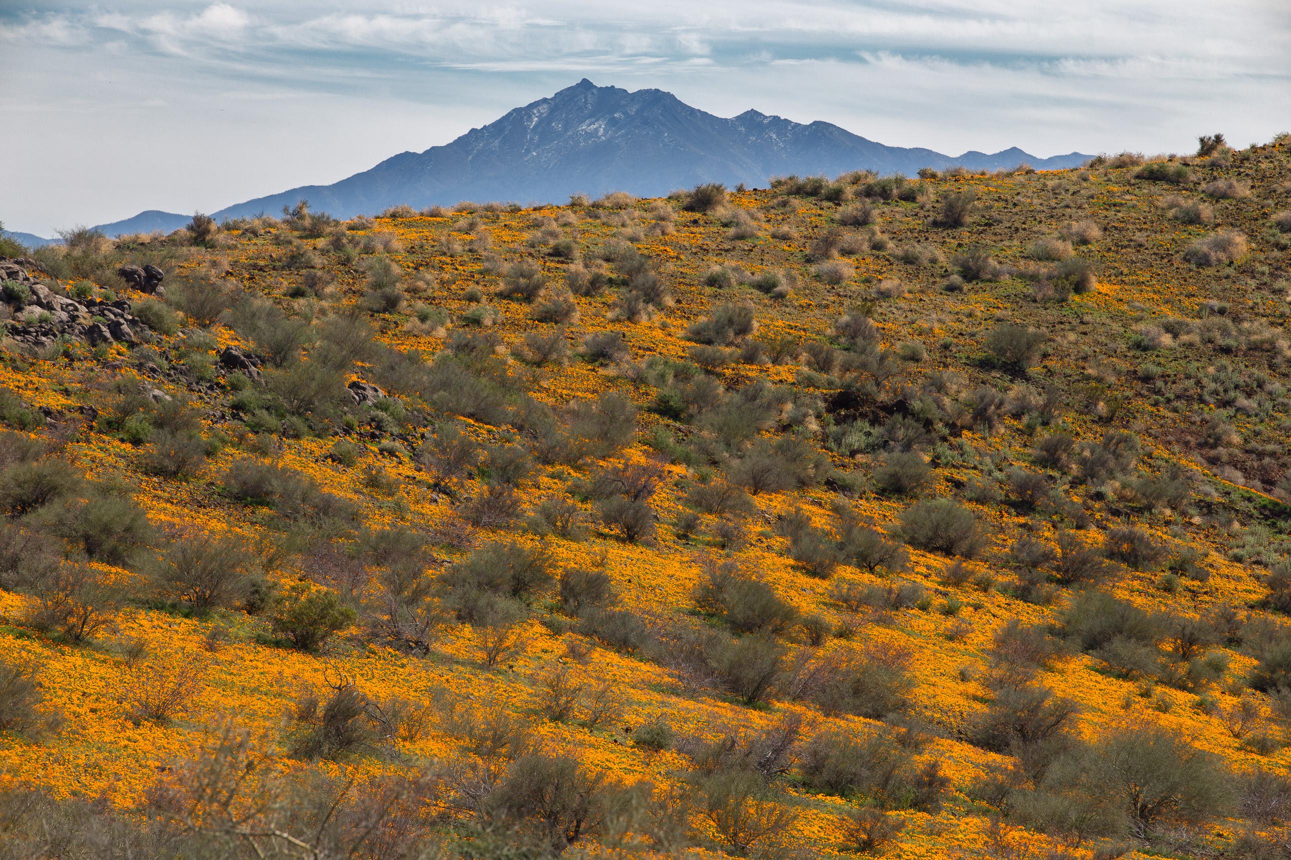 Beautiful California poppies on a hillside