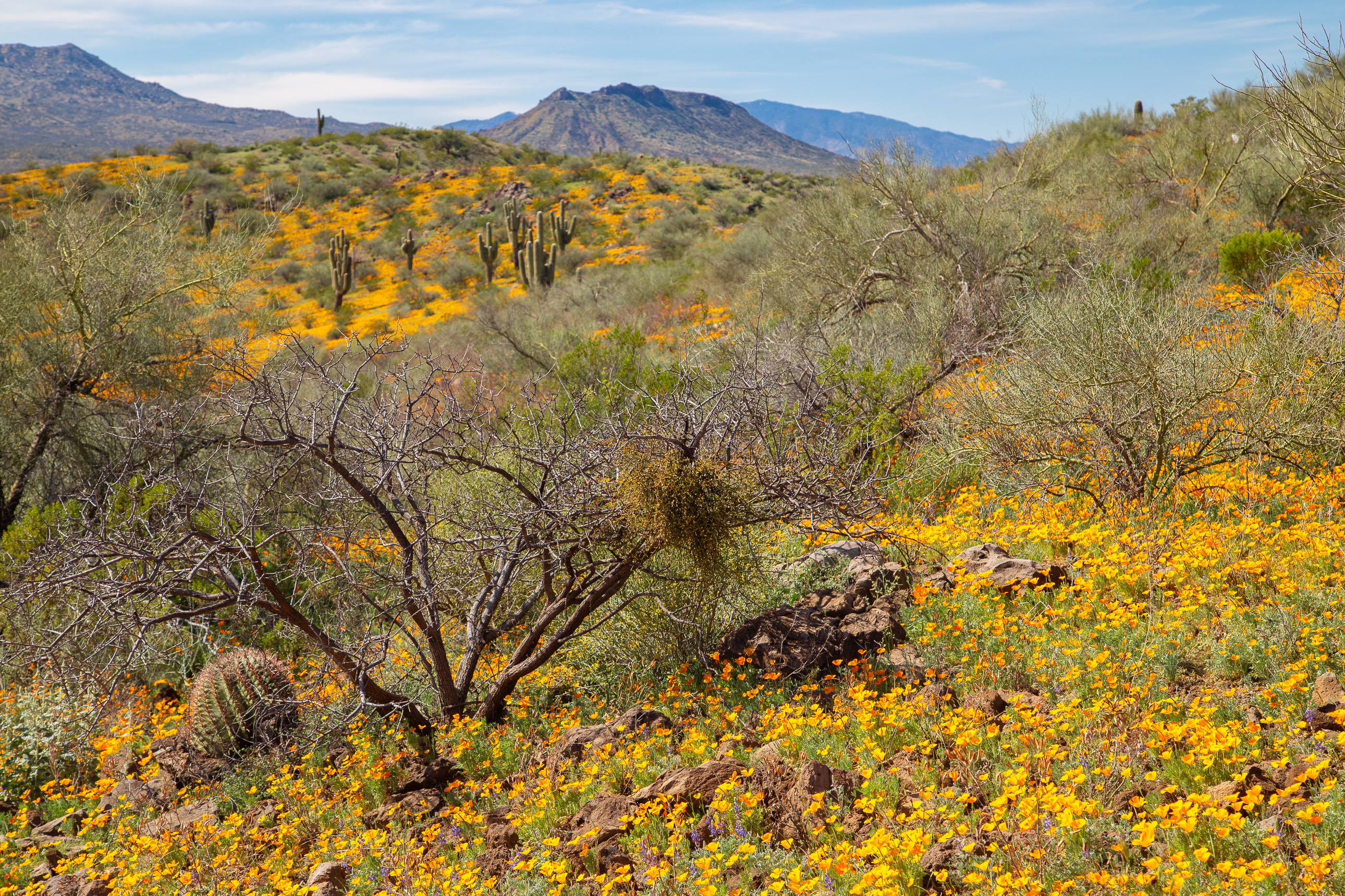Peridot Mesa Wildflowers on the San Carlos Reservation