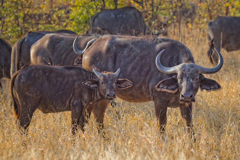 Buffaloes in the wild