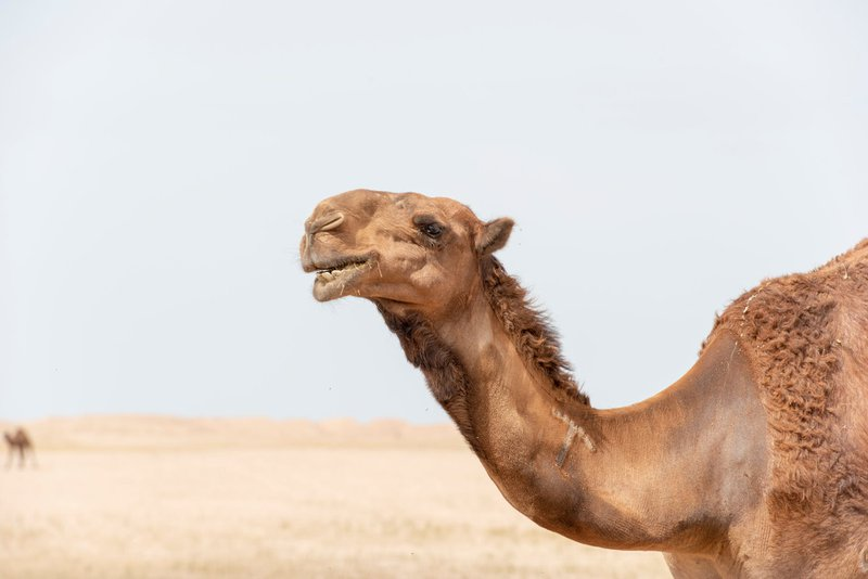 A picture of a camel